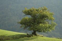 Eichen-Baum Lizenzfreies Stockfoto