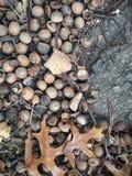 Eichen-Baum-Blätter und Eicheln aus den Grund im Fall Lizenzfreie Stockfotos