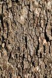 Eichen-Baum-Hintergrund Lizenzfreie Stockfotos