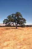 Eichen-Baum-Hintergrund stockfotos