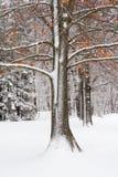 Eichen-Baum im frischen Schnee Stockfotografie