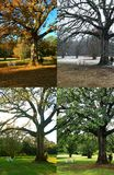 Eichen-Baum in vier Jahreszeiten Stockfotos