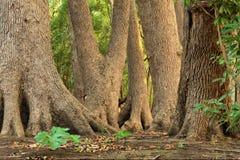Eichen in bezaubertem Wald Stockfoto