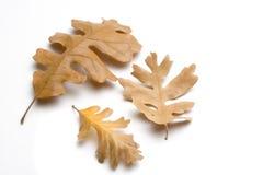 Eichen-Blätter Stockbild