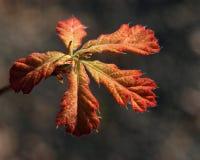 Eichen-Blätter lizenzfreie stockfotografie