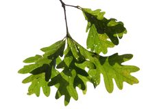 Eichen-Blätter Stockbilder