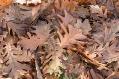 Eichen-Blätter aus den Grund während der Herbstsaison Lizenzfreie Stockfotos
