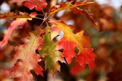 Eichen-Blätter im Fall stockbild