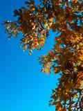 Eichen-Blätter und Zweige im Herbst Stockfotografie