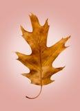 Eichen-Blatt auf lokalisierter Rose Retro Background lizenzfreies stockfoto