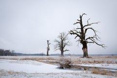 Eichen in der Winteraura Stockbild