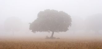 Eichen im Nebel Stockfotos