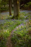 Eichen und Glockenblumen in Kent, vertikal Lizenzfreie Stockfotos