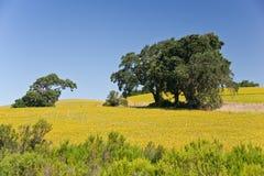 Eichen und goldene Sommer-Wiese Lizenzfreies Stockbild