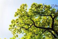 Eichen-Zweige, Blätter und Himmel Stockfotografie