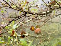 Eichenapfel, Abschürfung, auf Baum Stockbild