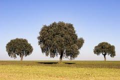 Eichenbäume Stockfotos