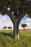 Eichenbäume Lizenzfreies Stockbild