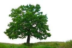 Eichenbaum über weißem Hintergrund Stockbild
