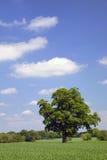 Eichenbaum auf einem Gebiet Lizenzfreie Stockfotografie