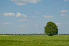 Eichenbaum am Frühsommer stockfotografie
