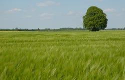 Eichenbaum am Frühsommer lizenzfreie stockbilder