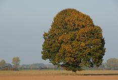 Eichenbaum im Herbst lizenzfreie stockfotos
