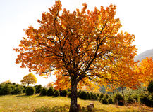 Eichenbaum im Herbst Stockfotografie