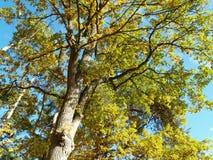 Eichenbaum im Herbst Lizenzfreie Stockfotografie
