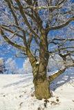 Eichenbaum im Winter Lizenzfreies Stockbild