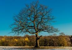 Eichenbaum im Winter Stockfoto