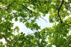 Eichenbaum leafage Stockfotos