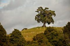 Eichenbaum und -schafe auf einem Hügel lizenzfreies stockbild