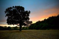 Eichenbaumsonnenuntergang stockfoto
