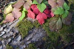 Eichenbaumstumpf, Traubenblätter und Moos Lizenzfreie Stockfotografie