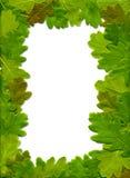 Eichenblätter Stockfoto