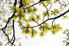 Eichenblätter Stockfotografie