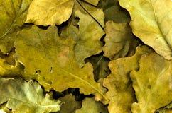 Eichenblätter aus den Grund Stockbild