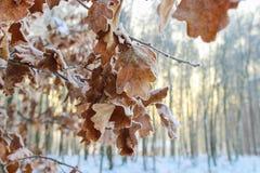 Eichenblätter bedeckt mit Frost. Stockbild