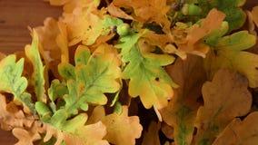 Eichenblätter in den Herbstfarben auf Holztisch stock video