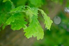 Eichenblätter in der Natur Lizenzfreie Stockfotos