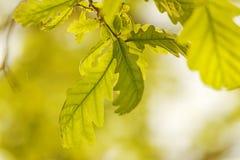 Eichenblätter in der Sonne stockbilder