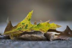 Eichenblätter mit ändernden Farben lizenzfreie stockfotografie