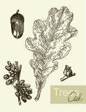 Eichenblatt, -blumen und -früchte lokalisiert auf Weiß Lizenzfreies Stockbild