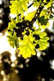 Eichenblatt in der rückseitigen Leuchte stockbilder