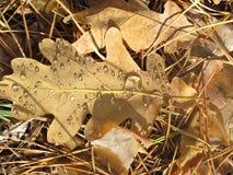 Eichenblatt mit Tau Stockfoto
