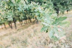 Eichengrünblätter am Sommertag stockbilder