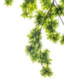 Eichenlaub und -niederlassungen, lokalisiert auf weißem Hintergrund Stockbilder