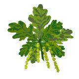 Eichenniederlassung mit Blättern und Weidenkätzchenvektor Stockbilder