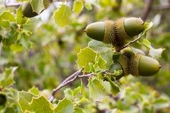 Eichenniederlassung mit grünen Blättern und Eicheln stockbilder